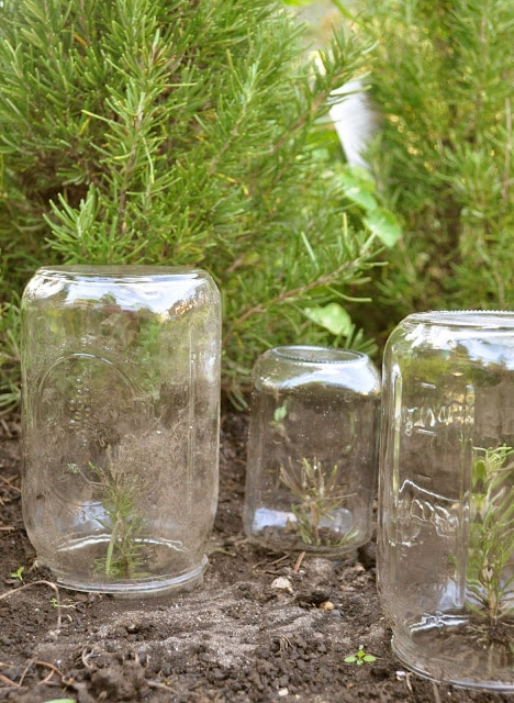 How to layer lavender and rosemary plants for propagation