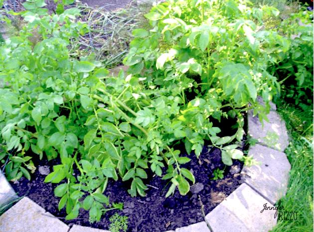 Potato plant in the ground