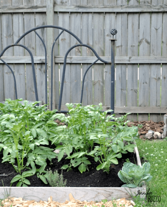 Potatoes growing in a garden with a bed headboard