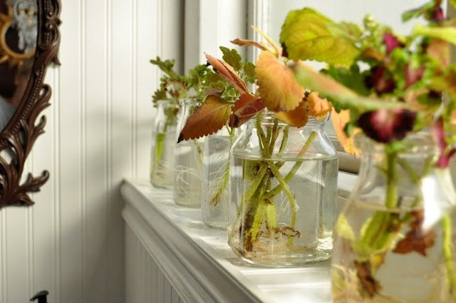 Rooting coleus for transplanting