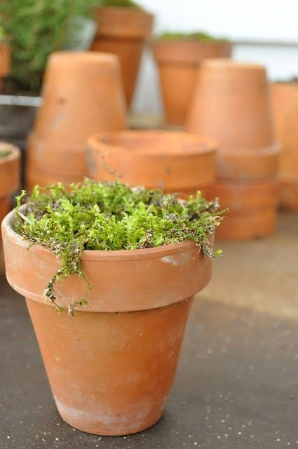 Moss in pots for display