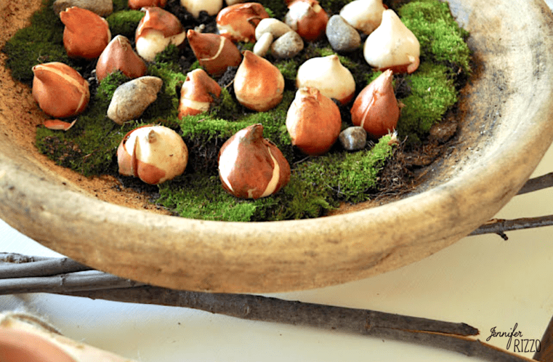 Forcing tulip bulbs in moss