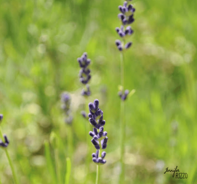 Lavender variety
