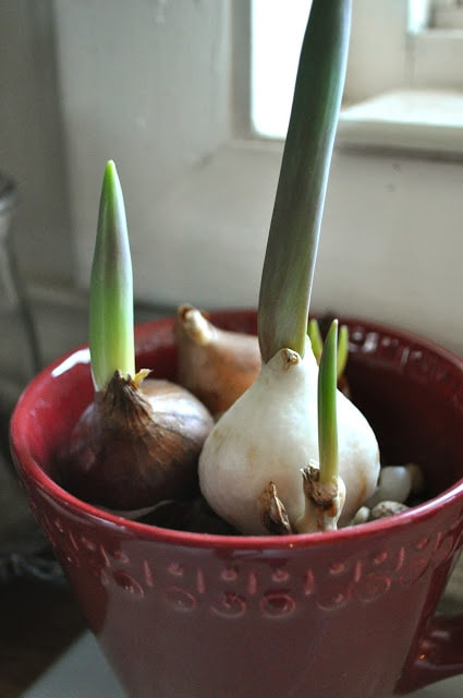 Forcing bulbs…