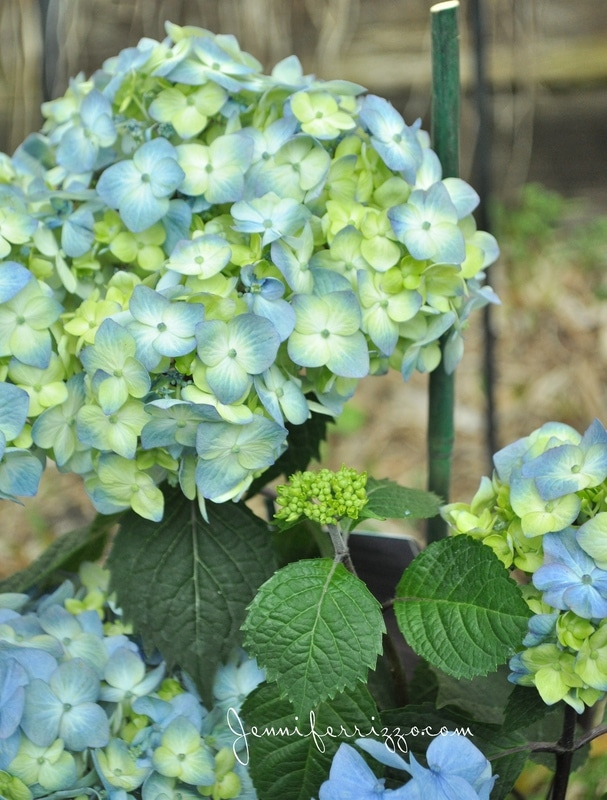 Beautiful blooms with the Endless Summer® hydrangea and landscaping my front walk…