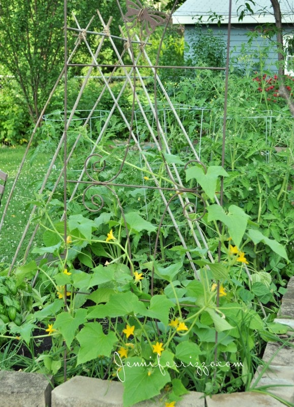 Bamboo poles can create a trellis for cucumbers