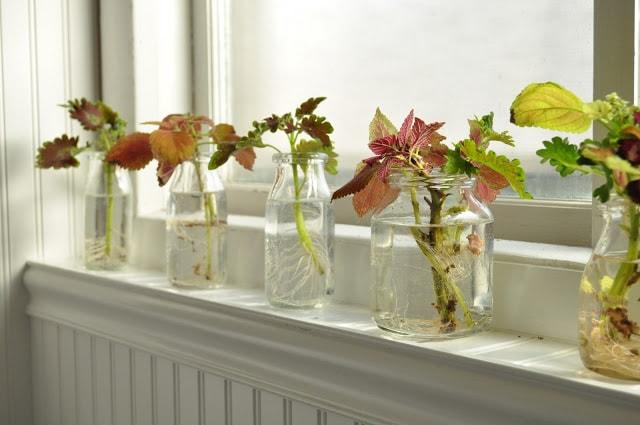to propagate coleus on a windowsill