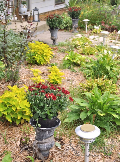 Coleus in landscaping