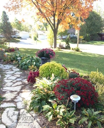 Front walk with round, beautiful mums. How to grow bug Chrysanthemums