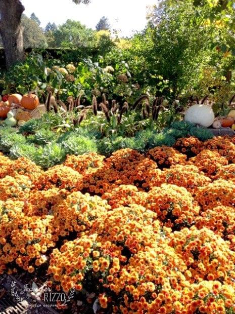 Fall mums at the Arboretum