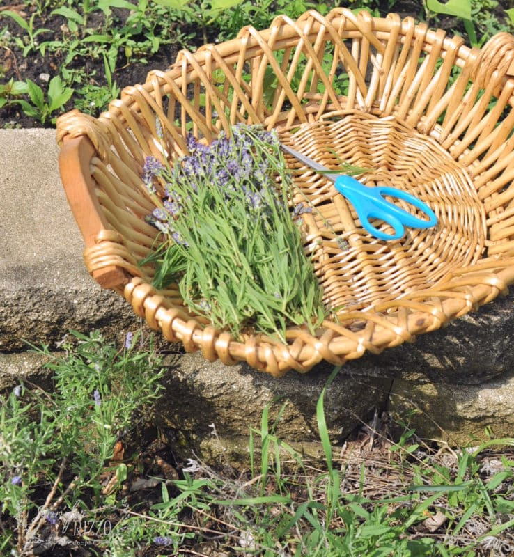 Basket of harvested lavender