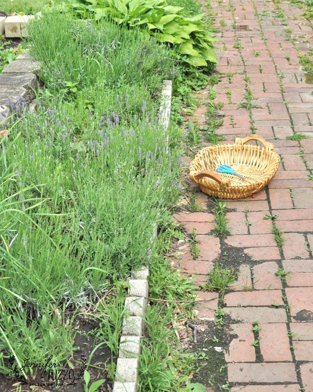 Harvesting Lavender in the Garden