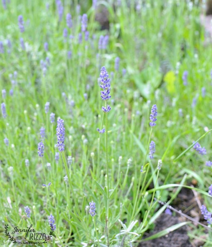 Growing and drying lavender in colder zones