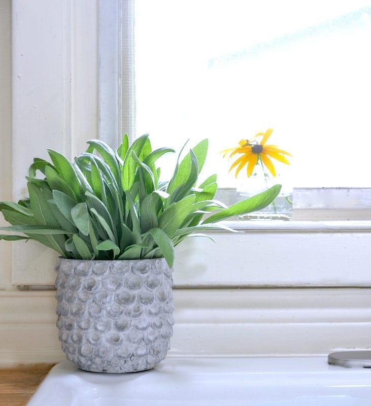 Sage in concrete pot