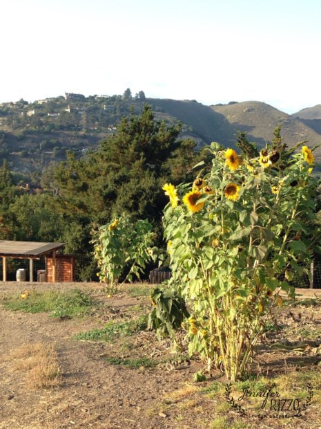 Sunflowers at Carmel valley Ranch