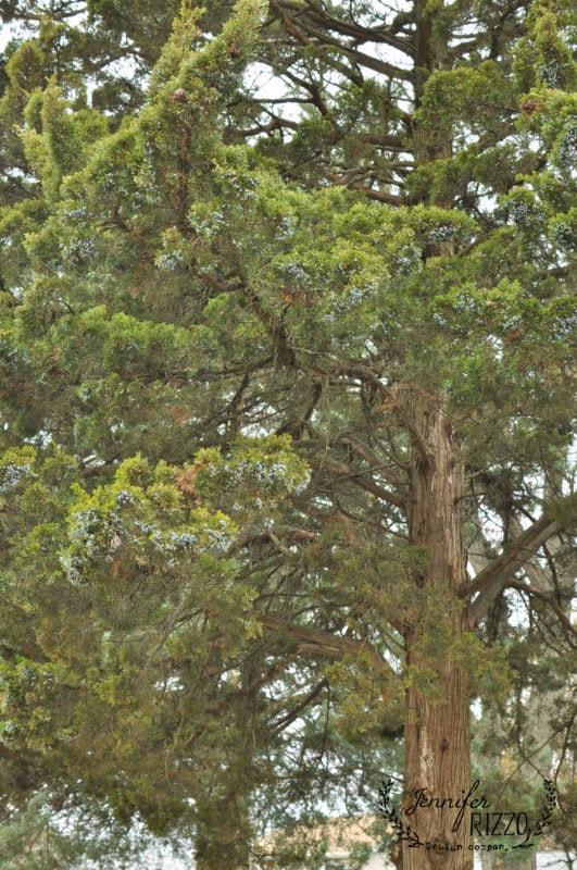 Juniper berries on old juniper