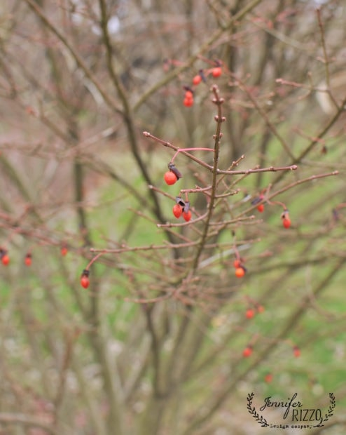 Red berries on burning bush