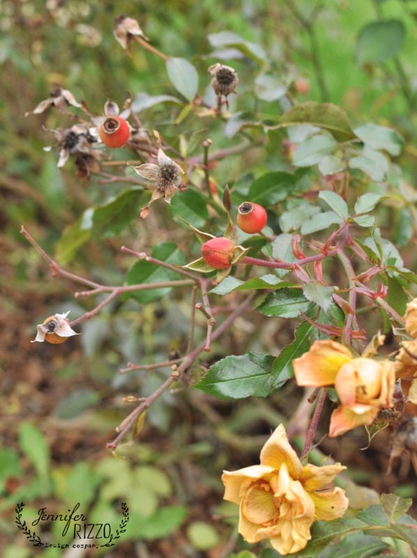 Rose hips in winter from old fashioned roses