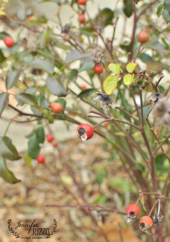 Rose hips on roses for winter cutting garden