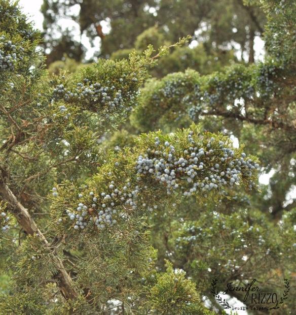 upclose-juniper-berries