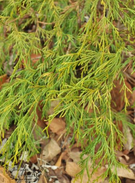 Lemon cypress