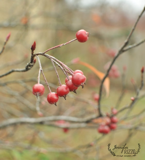 Viburnum berries in winter