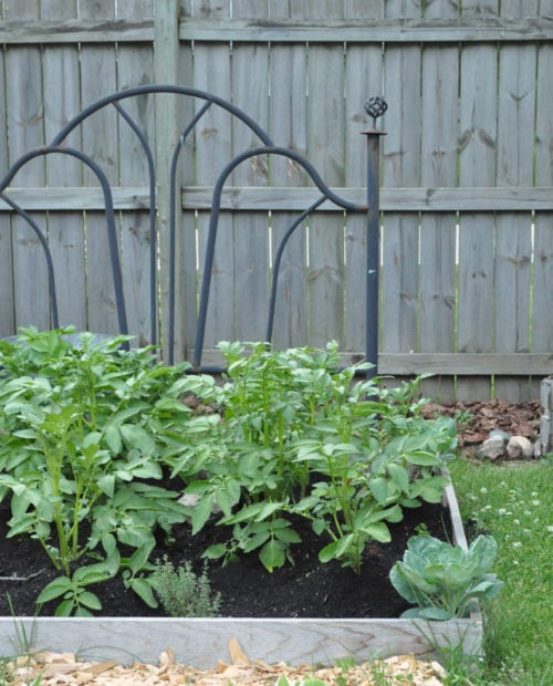 Old headboard used as a garden bed and potatoes and broccoli for companion planting