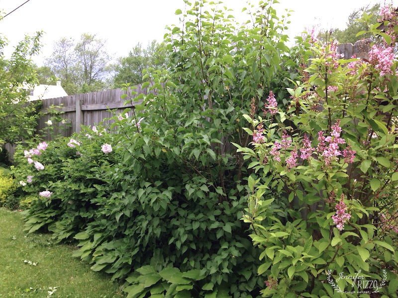 Make a living, blooming wall out of lilac bushes that bloom at different times. Line with Hosta for a maintence free edge!