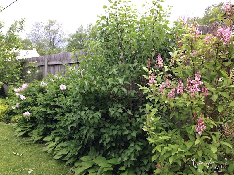 Late blooming Lilacs