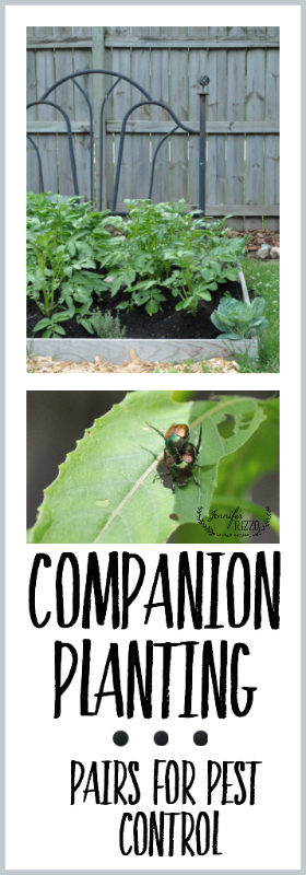 Companion planting pairs for pest control. What is companion planting and how does it work?