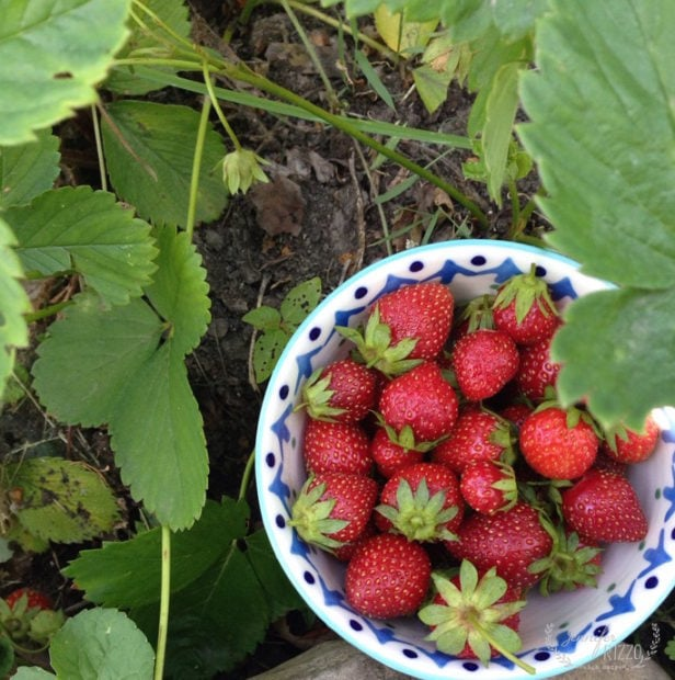 Strawberries fresh from the garden
