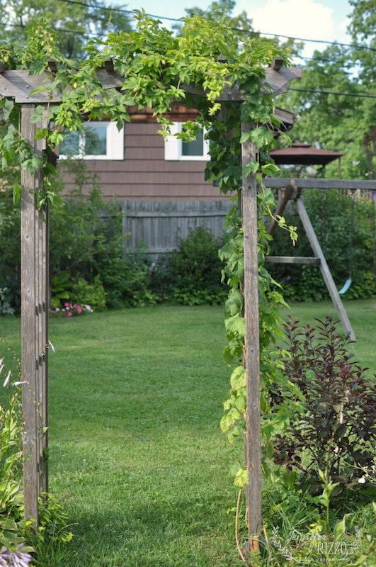 Arbor with hops vine