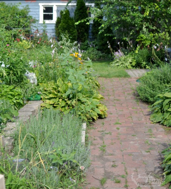 Brick lavender path and the yard in August