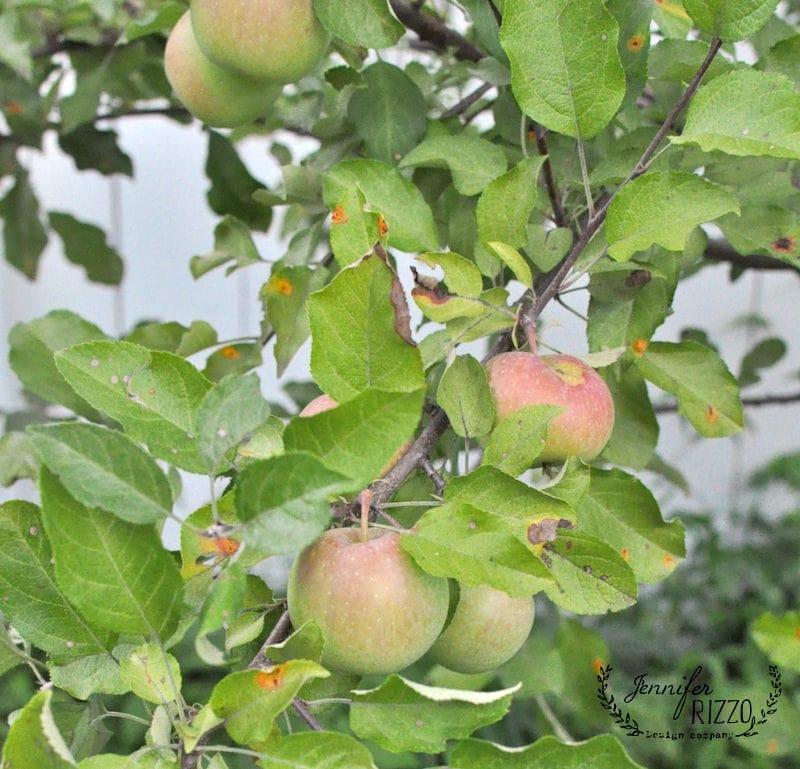 Dwarf Fuji apple tree