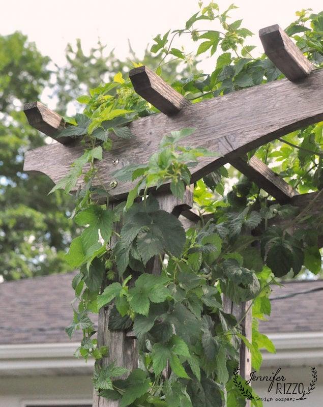 Hops vine on a trellis