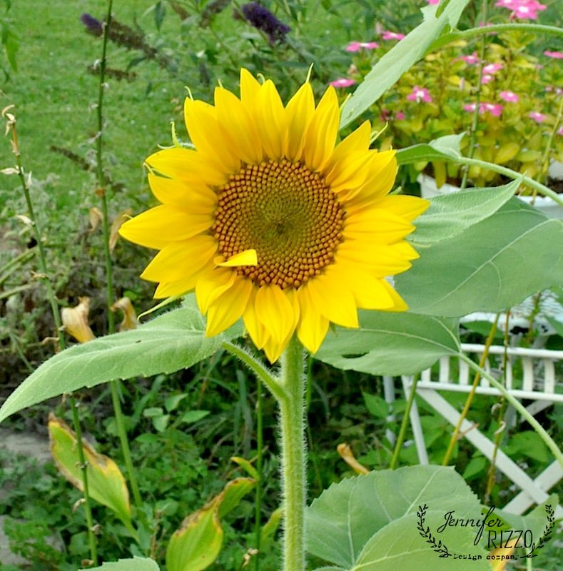 Sunflowers in the yard