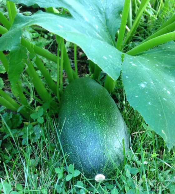 Huge zucchini in the garden