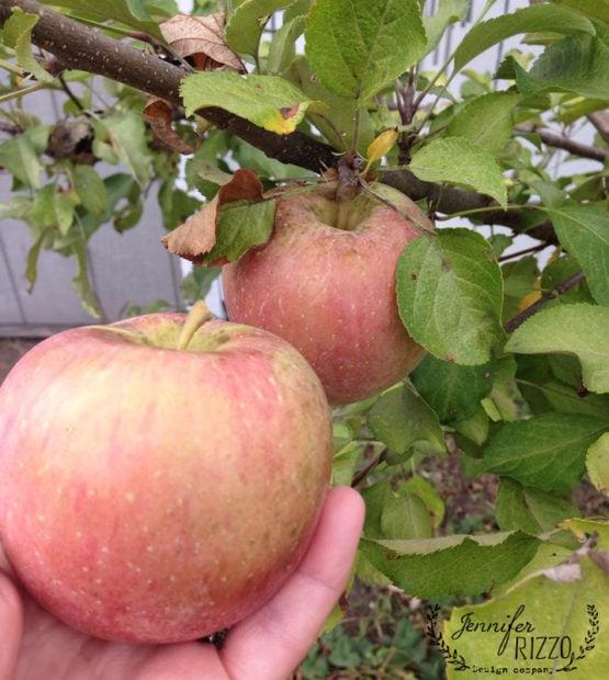 Home grown Fuji apples