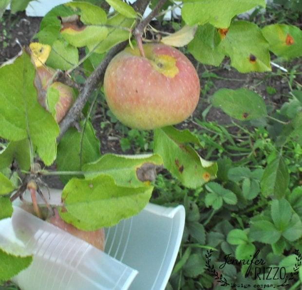 Organic fuji apple tree