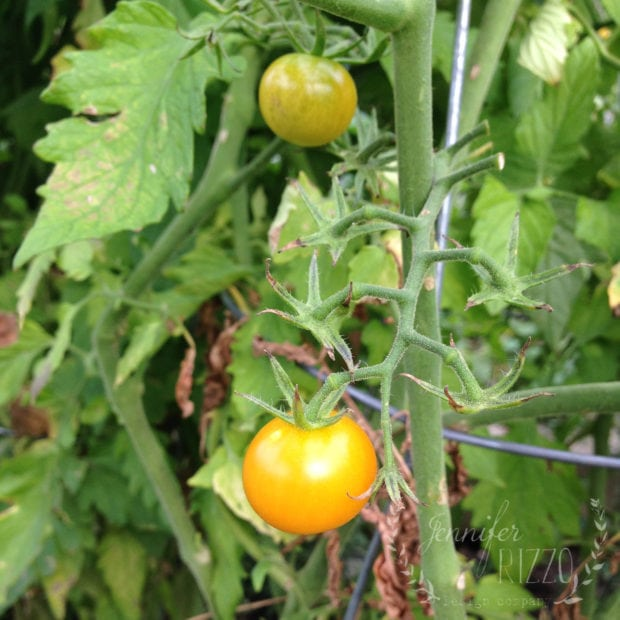 You can ripen end of the season tomato plants in water. Tomatoes will grow roots in water