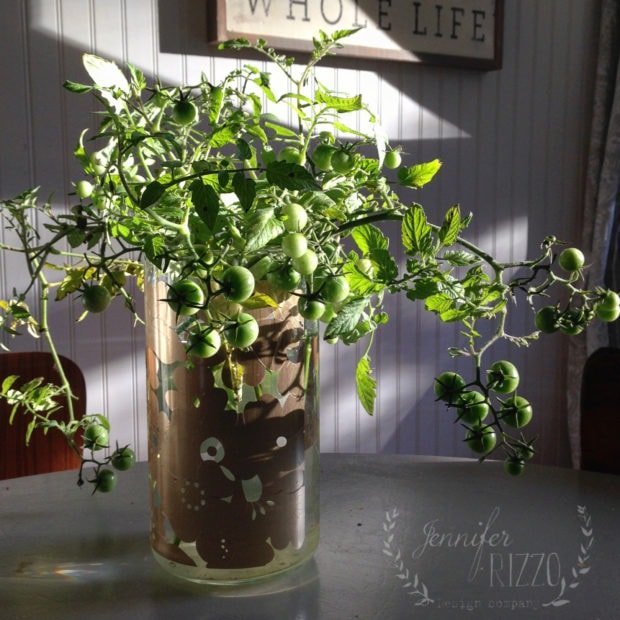 How to grow tomato plants in water at the end of the season