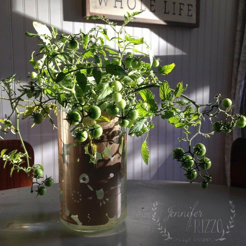 Grow Tomato Plants In Water Jennifer Rizzo