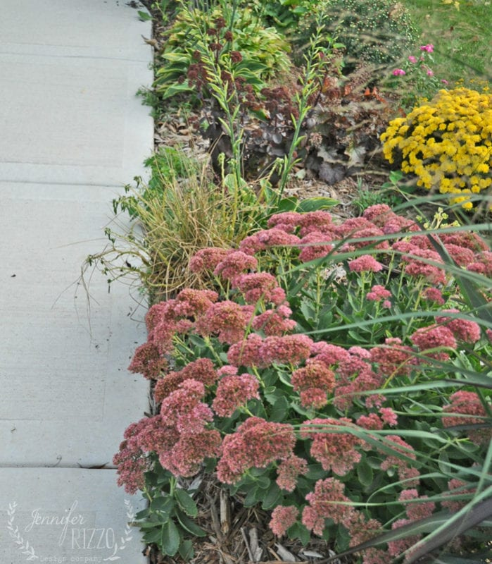 Deep pink Sedum in Landscaping Jennifer Rizzo