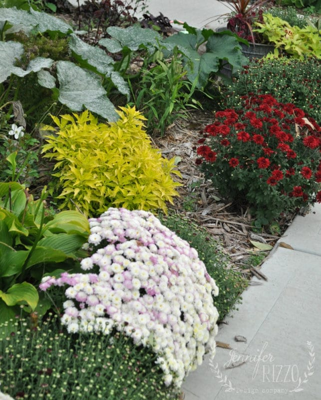 Mums and Coleus Fall planting Jennifer Rizzo