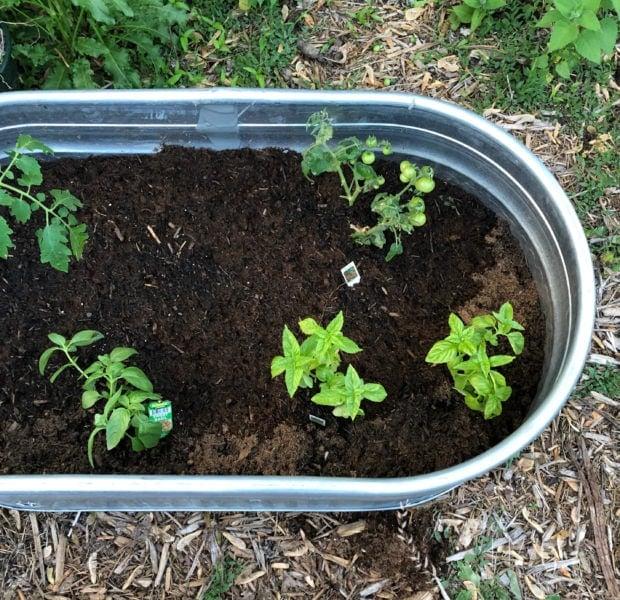 Stock tank raised bed garden