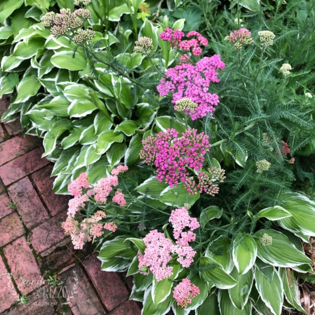 Cotton Candy Yarrow  Dark pink to white