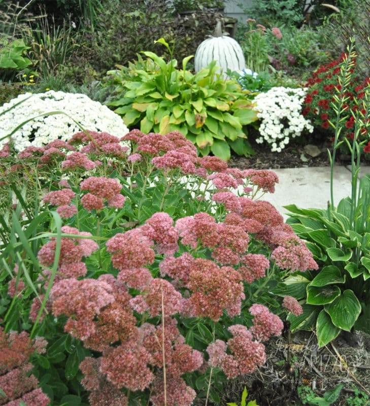 Sedum in Fall