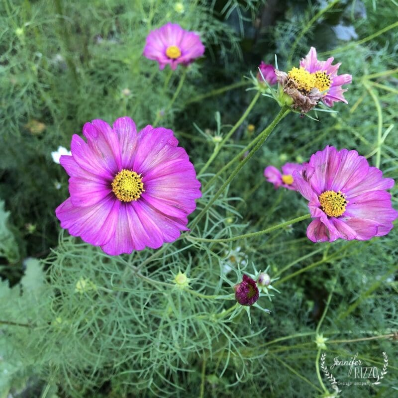 Pink Cosmos from Floret Flowers