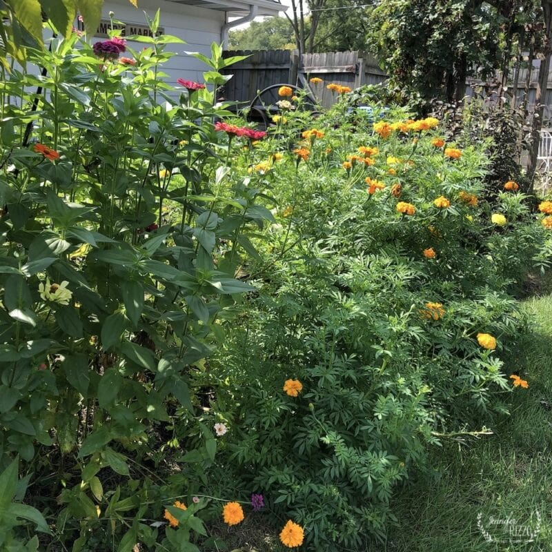 Tall marigolds and zinnia mix