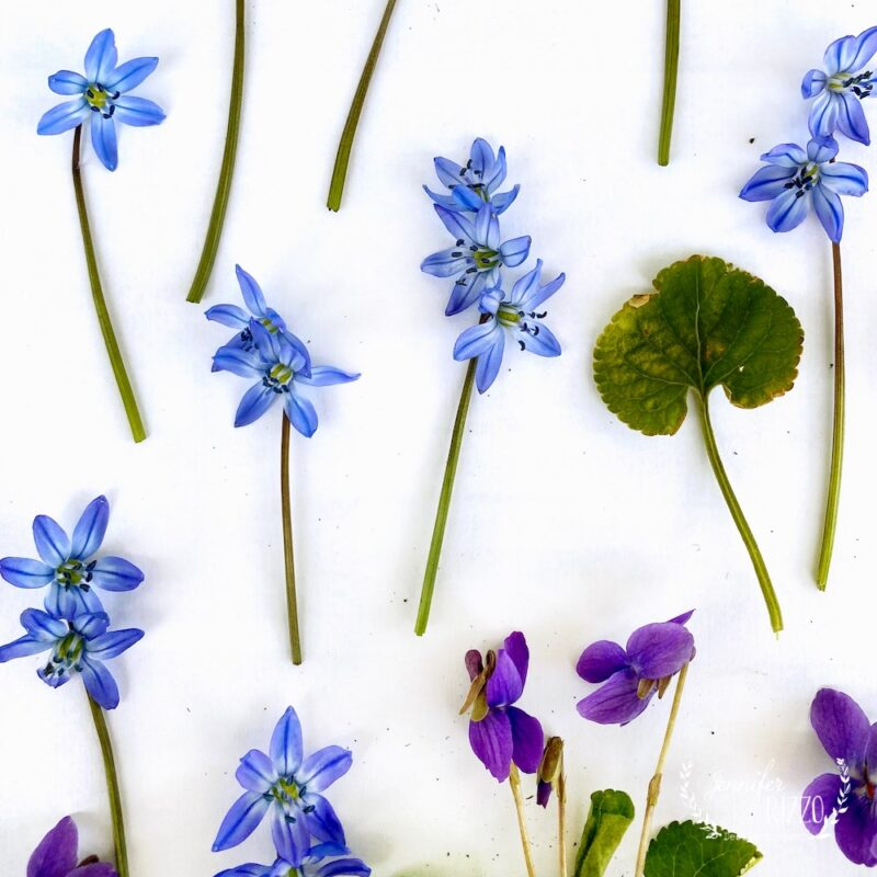 Blue squill flowers and violets for flower pressing